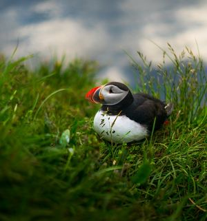 Atlantic puffin at Latrabjarg in Westfjords, Iceland
