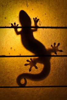 Backlit Gecko, Hawaii