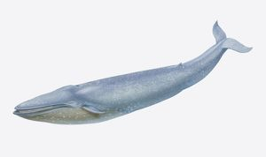 Balaenoptera musculus, Blue Whale, side view.