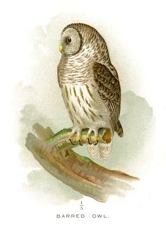 Barred owl lithograph 1897