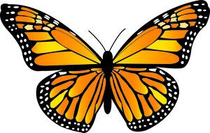 nature wildlife/monarch butterfly danaus plexippus/beautiful orange monarch butterfly