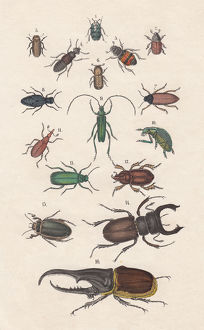 Beetles, hand-colored lithograph, published in 1880