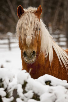 Belgian Horse In Winter