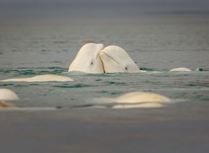 Beluga lovers