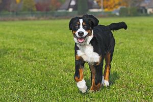 Bernese Mountain Dog -Canis lupus familiaris-, young female