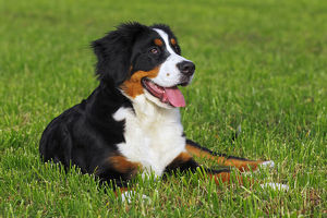 Bernese Mountain dog -Canis lupus familiaris- puppy, bitch