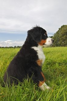 Bernese Mountain Dog -Canis lupus familiaris-, puppy
