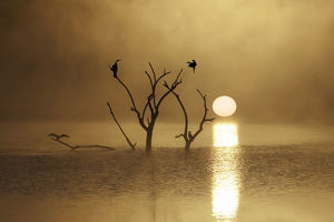Sun rising over mist water with Cormorants perching in trees, Mankwe Dam, Pilanesberg