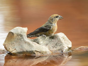 Bird Red Crossbill , famale , ( Loxia curvirostra ),species Passeriformes ,family of finches
