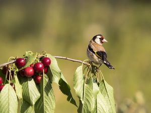 Bird of the species (Carduelis carduelis ), Put on the branch of a cherry-tree with