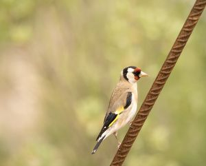 Bird of the species (Carduelis carduelis ), Immobile on a metallic stick
