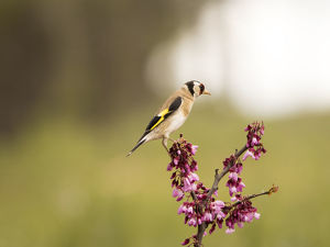 Bird of the species (Carduelis carduelis ), put on a branch with flowers in spring