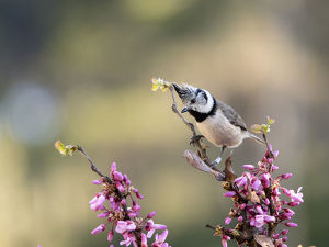 Bird of the species (Lophophanes cristatus), put on a branch with flowers in spring