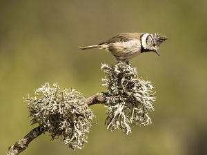 Bird of the species (Lophophanes cristatus), put on a branch with lichens.