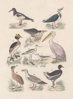 Birds, hand-colored lithograph, published in 1880