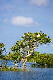 Birds perching in tree at Prek Toal Bird Sanctuary, Tonle Sap Lake, Cambodia