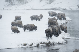 Bison group in winter, Yellowstone National Park, Wyoming, USA