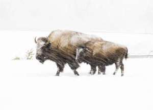 Bison in winter, Yellowstone National Park, Wyoming, USA
