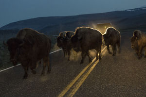 Bisons herd crossing road before dawn, Yellowstone National Park, Wyoming, USA