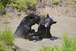 Black Bear Cubs Playing