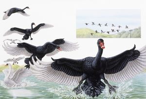 Black Swan (Cygnus atratus), stages of bird in flight preparing to land, and White