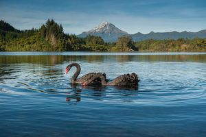 Black swans with Mt. Taranaki background