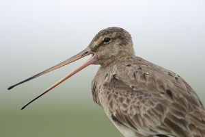 nature wildlife/anton luhr photography/black tailed godwit limosa limosa buren ameland