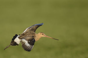 nature wildlife/anton luhr photography/black tailed godwit limosa limosa flight texel