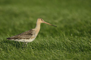 nature wildlife/anton luhr photography/black tailed godwit limosa limosa texel netherlands