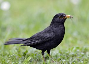 Blackbird -Turdus merula-, male, collecting insects in its beak