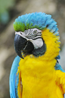 Blue-and-Yellow Macaw or Blue-and-Gold-Macaw -Ara ararauna-, Antioquia, Colombia