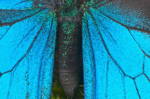 Blue mountain swallowtail (Papilio ulysses) wings and abdomen, detail