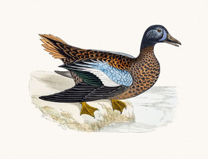 Blue-winged Teal Duck Waterfowl bird