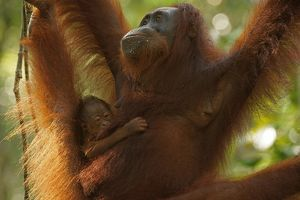 Bornean Orangutans -Pongo pygmaeus-, adult female with young, Tanjung Puting National Park
