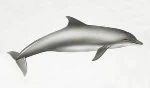 Bottlenose Dolphin, Tursiops truncatus, side view.