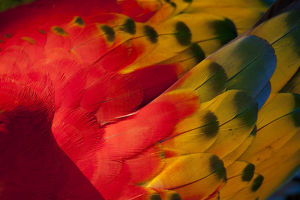 Bright Scarlet Macaw Feather Art