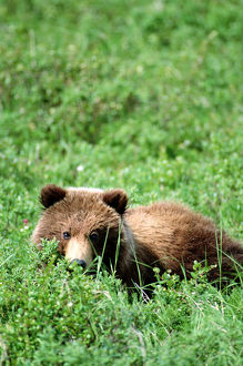 Brown bear cub (Ursus arctos) resting in green grass