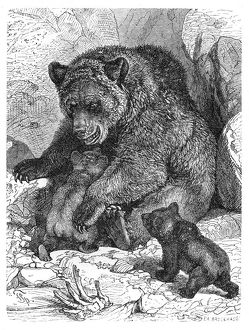 Brown bear and cubs engraving 1882