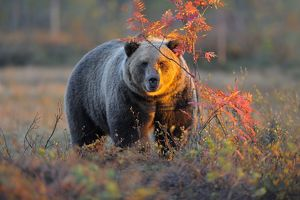 Brown Bear -Ursus arctos- in the autumnally coloured taiga or boreal forest in the last light