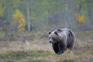 Brown Bear -Ursus arctos- in the autumnally coloured taiga or boreal forest, border area to Russia