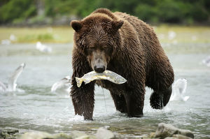 Brown Bear -Ursus arctos- crossing the river with salmon in its mouth, Katmai National Park