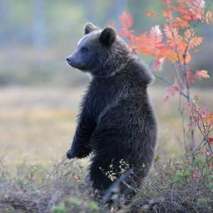 Brown Bear -Ursus arctos- cub standing on its hindlegs in the autumnally coloured