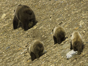 Brown bear (Ursus arctos) and three cubs on shingle scree, rear view