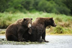 Brown Bear -Ursus arctos-, female with her offspring, 2 years, sitting on the riverbank
