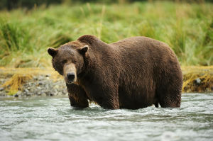 Brown Bear -Ursus arctos- standing in the river, looking for salmon, Katmai National Park