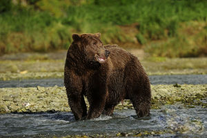 Brown Bear -Ursus arctos- standing in the river and waiting for salmon, Katmai National Park