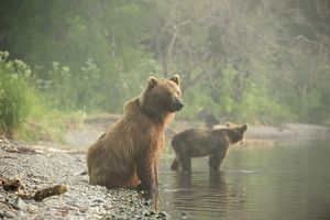 Brown Bears -Ursus arctos-, adult female with young, on the lakeshore in the early morning