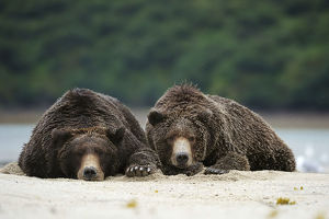 Two Brown Bears -Ursus arctos- dozing next to each other in the sand, Katmai National Park