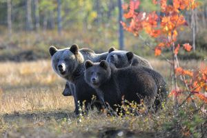 Brown Bears -Ursus arctos-, mother bear and cubs in the autumnally coloured taiga