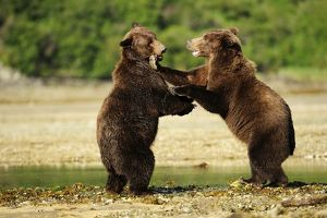 Two Brown Bears -Ursus arctos- play-fighting with each other, Katmai National Park, Alaska